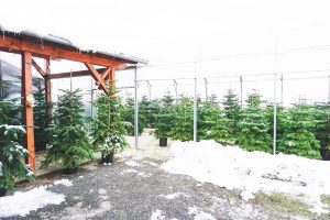 Christbaum mieten für nachhaltige Weihnachten 2